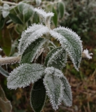 Plants in freezing fog, 1st December 2016 4