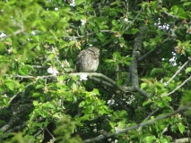 Little_Owl_070517b