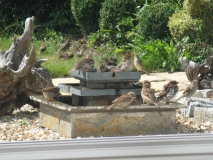 Sparrows in Tizer's garden