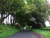 Windblown trees at Camelford, Cornwall