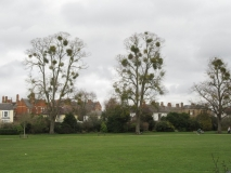 Trees with mistletoe, Vivary Park, Taunton