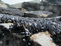 The march of the mussels, Trebarwith, Cornwall