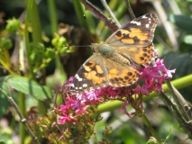 Painted lady butterfly at Watchet, Somerset, 23/06/19