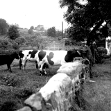 Ted Waite and cattle68