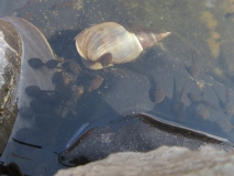 A snail with tadpoles in Tizer's pond 1