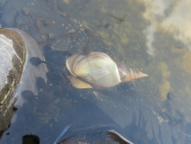 A snail with tadpoles in Tizer's pond 2
