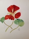 Nasturtium in watercolour