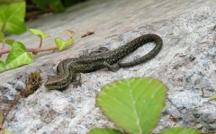 The British Common Lizard