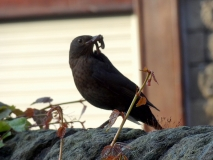 Black bird feeding its young